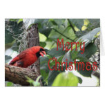 Merry Christmas Cardinal Card