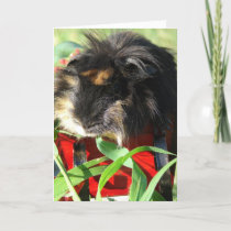 Merry Christmas!  Guinea Pig Holiday Card