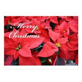 Merry Christmas Pointsettias Postcard