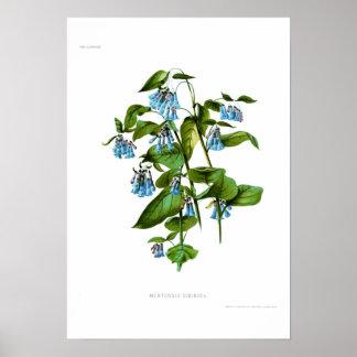 Mertensia sibirica posters