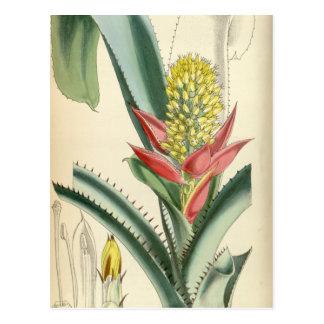 Mertensii de Aechmea (= mucroniflora) Tarjetas Postales