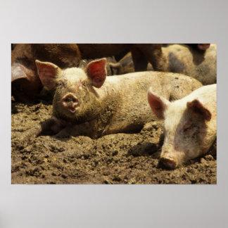 MES: Ste Genevieve, granja de cerdo Póster