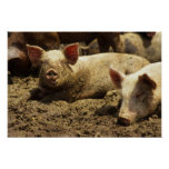 MES: Ste Genevieve, granja de cerdo Posters