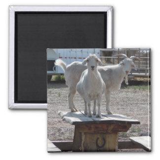 Mesa de picnic hilarante occidental de la cabra de imán cuadrado