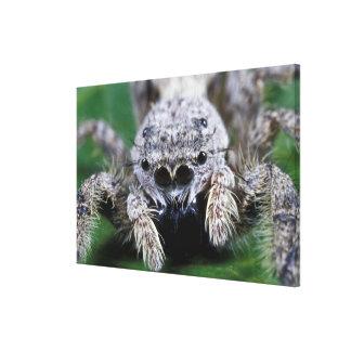 Metaphid Jumping spider Metaphidippus sp) Canvas Print
