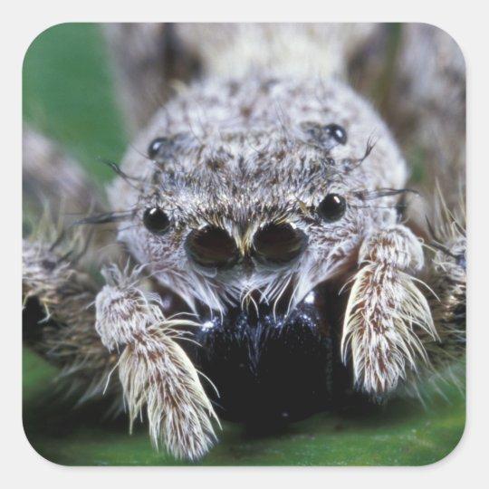 Metaphid Jumping spider Metaphidippus sp) Square Sticker