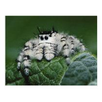 Metaphid Jumping Spider Postcard