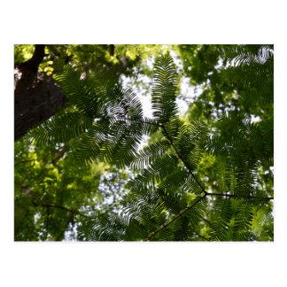 Metasequoia - Dawn Redwood Tree Postcard
