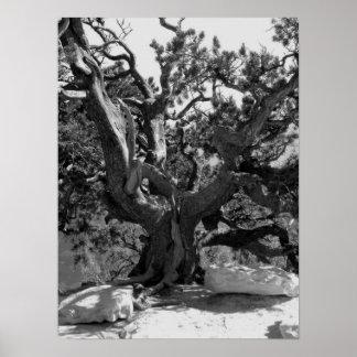 Methuselah Tree Posters
