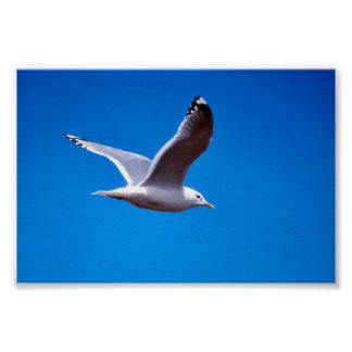 Mew Gull in Flight Poster