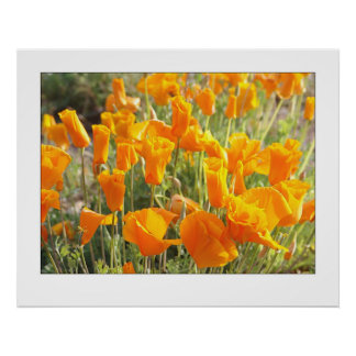 Mexican Golden Poppies Poster