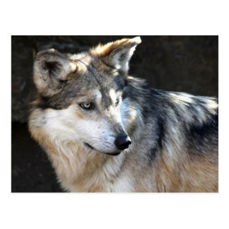 Mexican Gray Wolf Postcard
