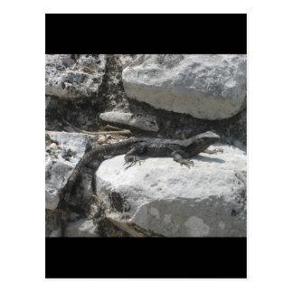 Mexican Iguana Postcard