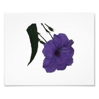 Mexican Petunia cutout flower Photo Print