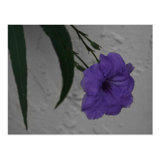 Mexican Petunia  flower Postcard