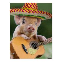 mexican pig - pig guitar - funny pig postcard
