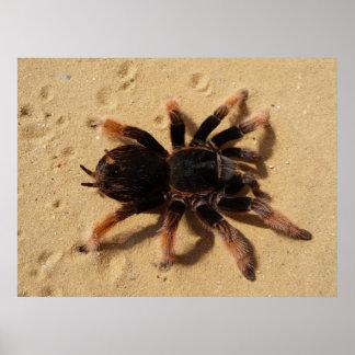 Mexican Pink tarantula Brachypelma klaasi Poster