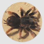 Mexican Pink Tarantula Round Stickers