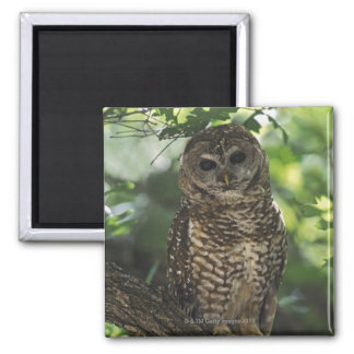 Mexican Spotted Owl On Perch In Gambel Oak 2 Inch Square Magnet