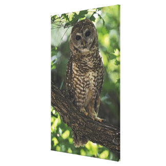 Mexican Spotted Owl On Perch In Gambel Oak Canvas Print