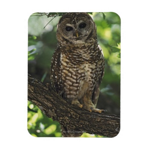 Mexican Spotted Owl On Perch In Gambel Oak Magnet