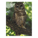 Mexican Spotted Owl On Perch In Gambel Oak Postcards