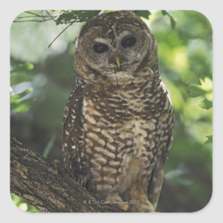 Mexican Spotted Owl On Perch In Gambel Oak Square Sticker