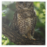 Mexican Spotted Owl On Perch In Gambel Oak Tiles