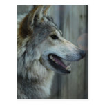 Mexican Wolf Postcard