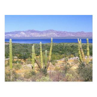 Mexico, Baja California Sur, Cardon Cactus at Postcard