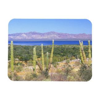 Mexico, Baja California Sur, Cardon Cactus at Rectangular Photo Magnet