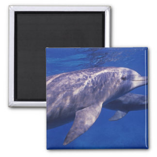 Mexico, Cozumel. Bottlenosed Dolphin, Tursiops 2 2 Inch Square Magnet