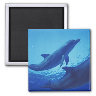 Mexico, Cozumel. Bottlenosed Dolphin, Tursiops 2 Inch Square Magnet