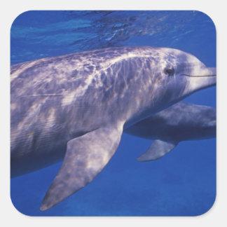 Mexico, Cozumel. Bottlenosed Dolphin, Tursiops 2 Square Sticker