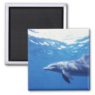 Mexico, Cozumel. Bottlenosed Dolphin, Tursiops 3 Magnet