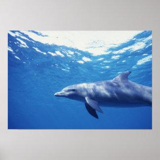Mexico, Cozumel. Bottlenosed Dolphin, Tursiops 3 Poster