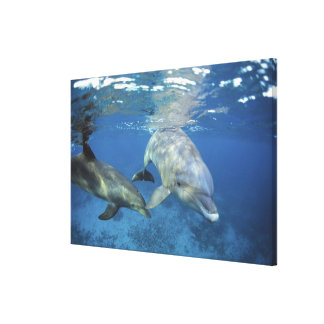 Mexico, Cozumel. Bottlenosed Dolphin, Tursiops 5 Canvas Print