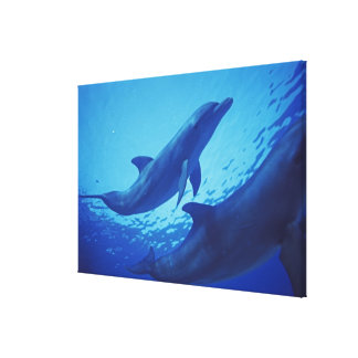Mexico, Cozumel. Bottlenosed Dolphin, Tursiops Canvas Print