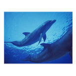 Mexico, Cozumel. Bottlenosed Dolphin, Tursiops Postcard