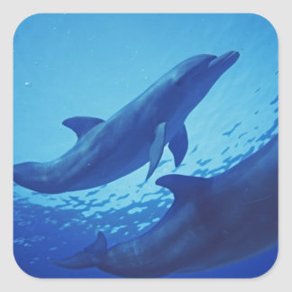 Mexico, Cozumel. Bottlenosed Dolphin, Tursiops Square Sticker