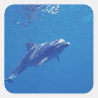 México, Cozumel. Delfín de Bottlenosed Pegatina Cuadrada