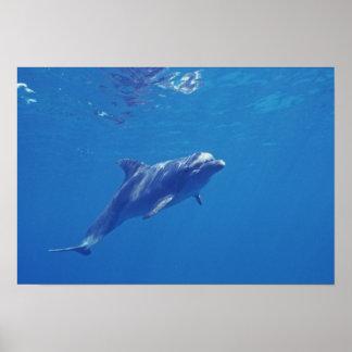 México, Cozumel. Delfín de Bottlenosed Póster