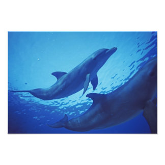 México, Cozumel. Delfín de Bottlenosed, Tursiops 2 Fotografía