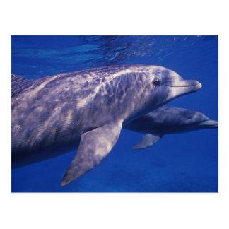 México, Cozumel. Delfín de Bottlenosed, Tursiops 2 Postales
