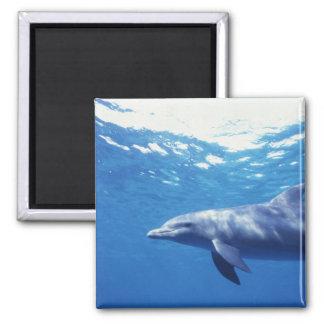 México, Cozumel. Delfín de Bottlenosed, Tursiops 3 Imán Cuadrado
