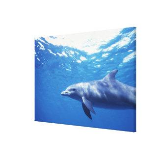 México, Cozumel. Delfín de Bottlenosed, Tursiops 3 Lona Envuelta Para Galerías