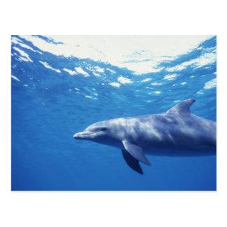 México, Cozumel. Delfín de Bottlenosed, Tursiops 3 Tarjetas Postales