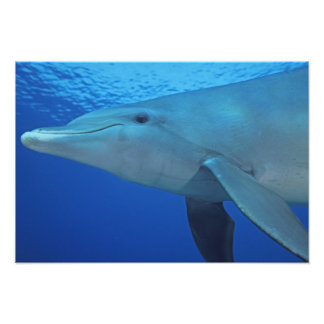 México, Cozumel. Delfín de Bottlenosed, Tursiops 4 Cojinete