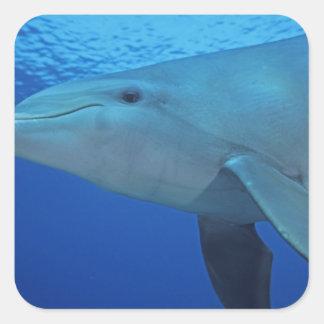 México, Cozumel. Delfín de Bottlenosed, Tursiops 4 Pegatina Cuadrada