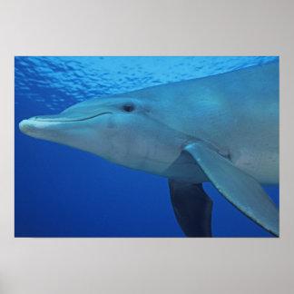 México, Cozumel. Delfín de Bottlenosed, Tursiops 4 Póster